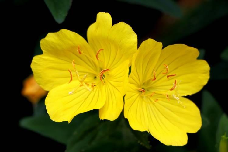 อีฟนิ่งพรีมโรส, ดอกไม้รับรู้คลื่นเสียงได้, ดอกไม้, การได้ยิน, การทดลองทางวิทยาศาสตร์