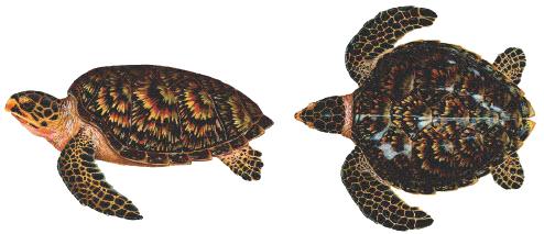 เต่าทะเล ,เต่า ,เต่าในประเทศไทย, เต่ากระ