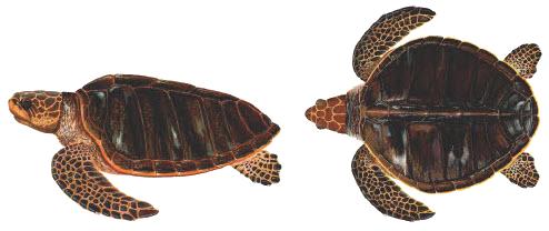 เต่าทะเล ,เต่า ,เต่าในประเทศไทย, เต่าหญ้า