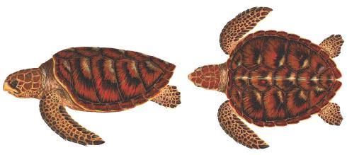 เต่าทะเล ,เต่า ,เต่าในประเทศไทย, เต่าหัวฆ้อน