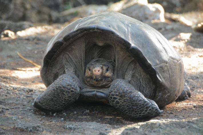 กาลาปาโกส, เต่า, เต่ายักษ์เฟอร์นันดินา