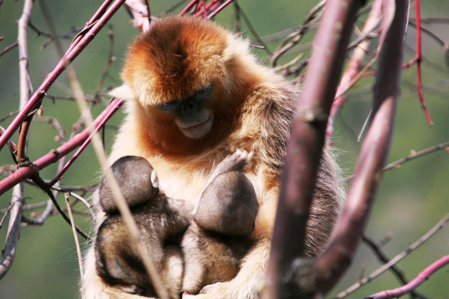 ลิงจมูกเชิดสีทอง
