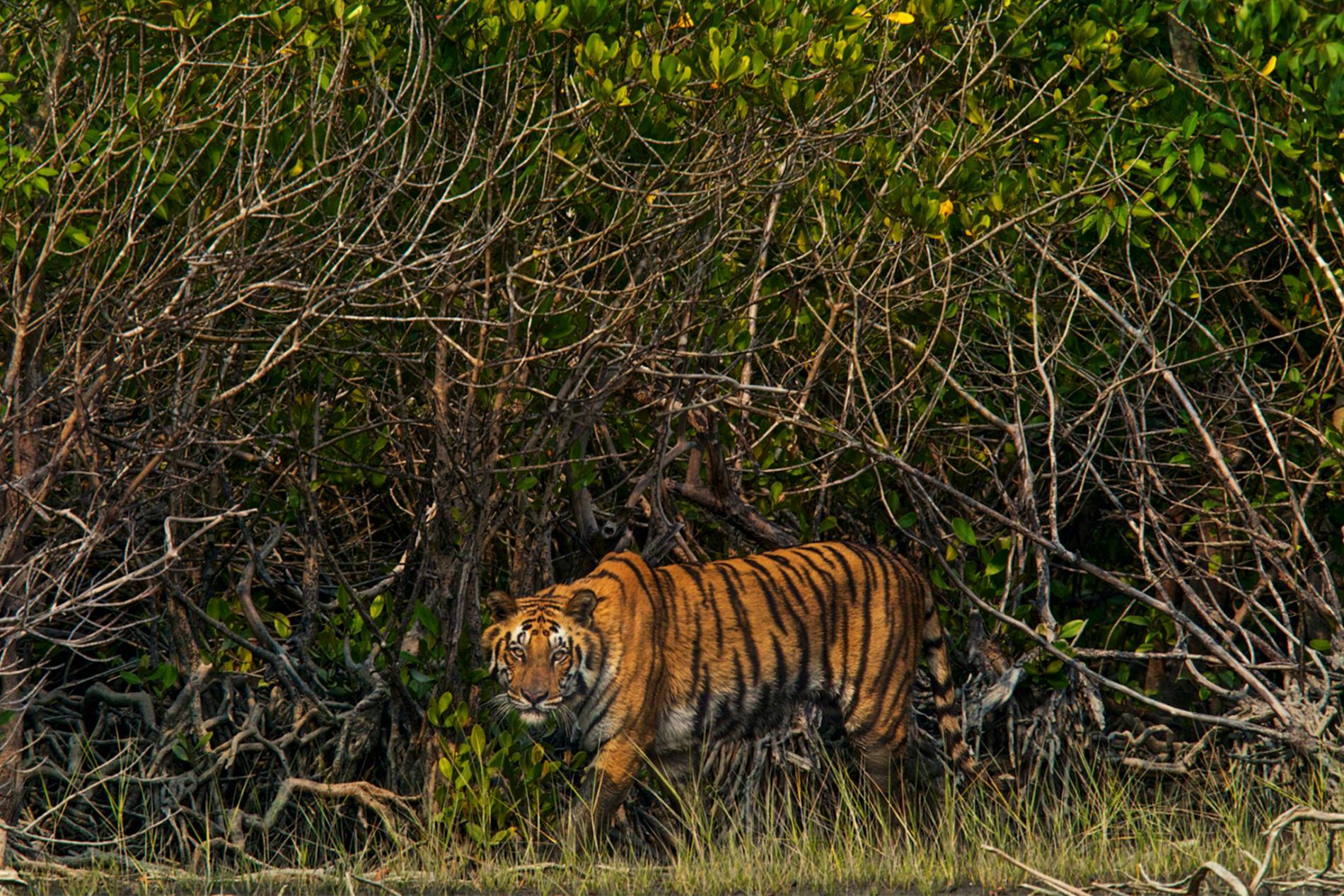 ซุนดาบันส์, บังกลาเทศ, อินเดีย, ป่าชายเลน, เสือเบงกอล