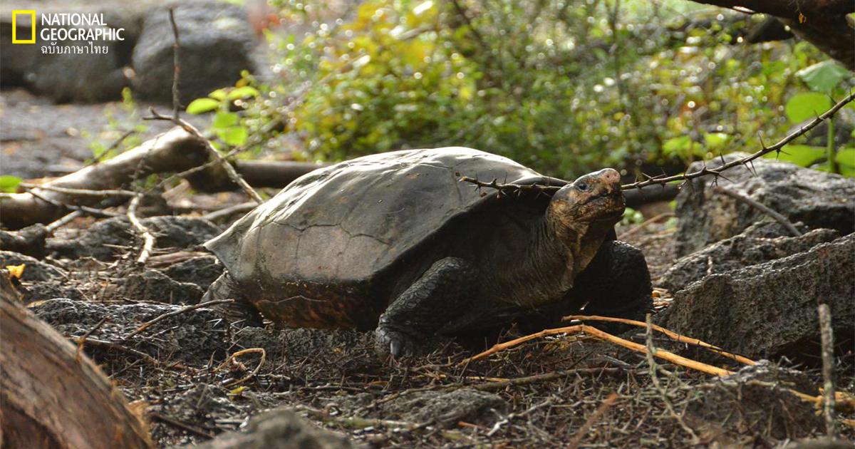 เต่ายักษ์เฟอร์นันนิดา, เต่า, เกาะกาลาปาโกส