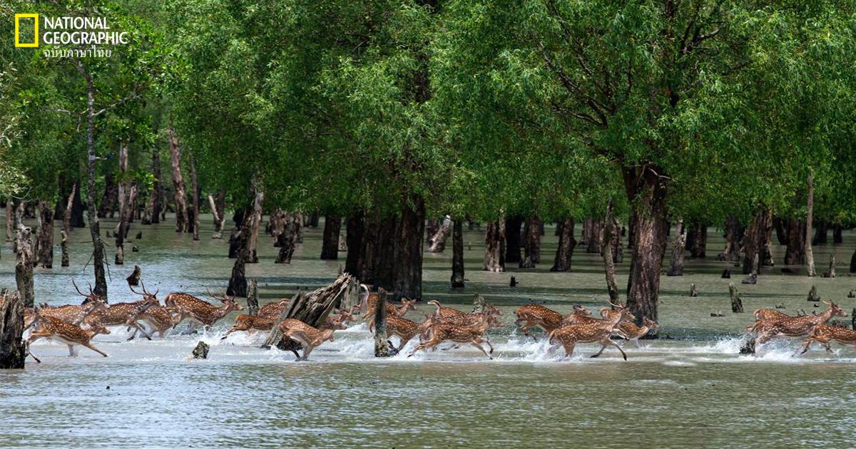 ซุนดาบันส์, บังกลาเทศ, อินเดีย, ป่าชายเลน ซุนดาบันส์