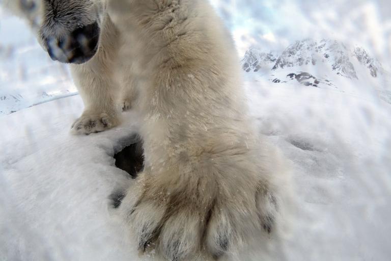 หมีขาว