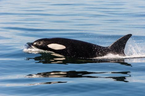 วาฬเพชฌฆาต