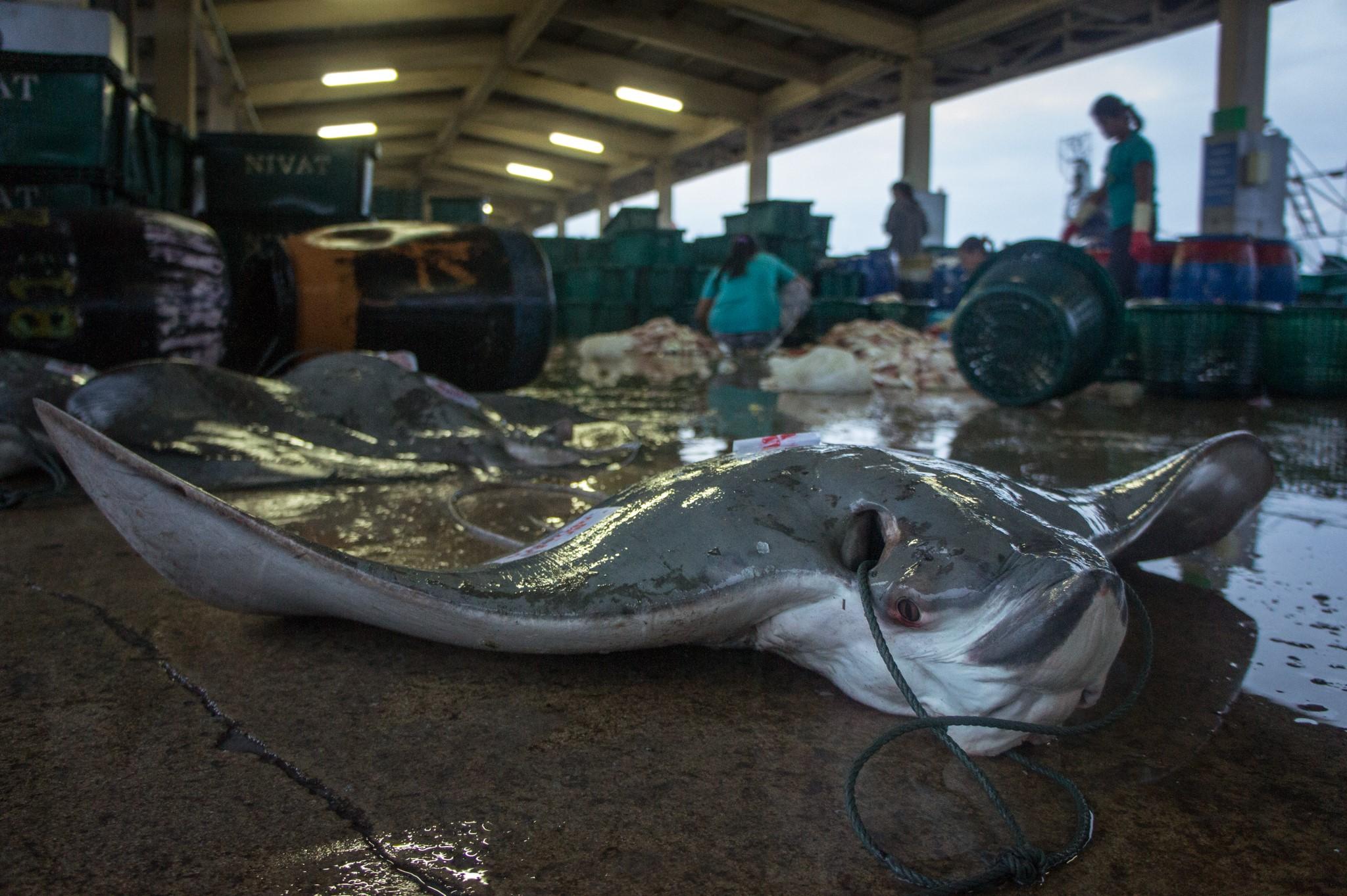 ปลากระเบนนก, สะพานปลา, สะพานปลาภูเก็ต, ขายปลากระเบน, ปลากระเบน
