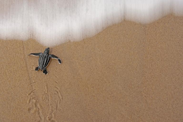 เต่ามะเฟือง