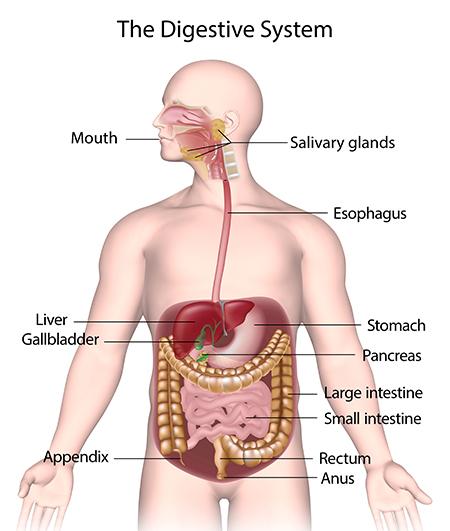 ระบบทางเดินอาหาร, อวัยวะภายใน, กายวิภาคระบบทางเดินอาหาร