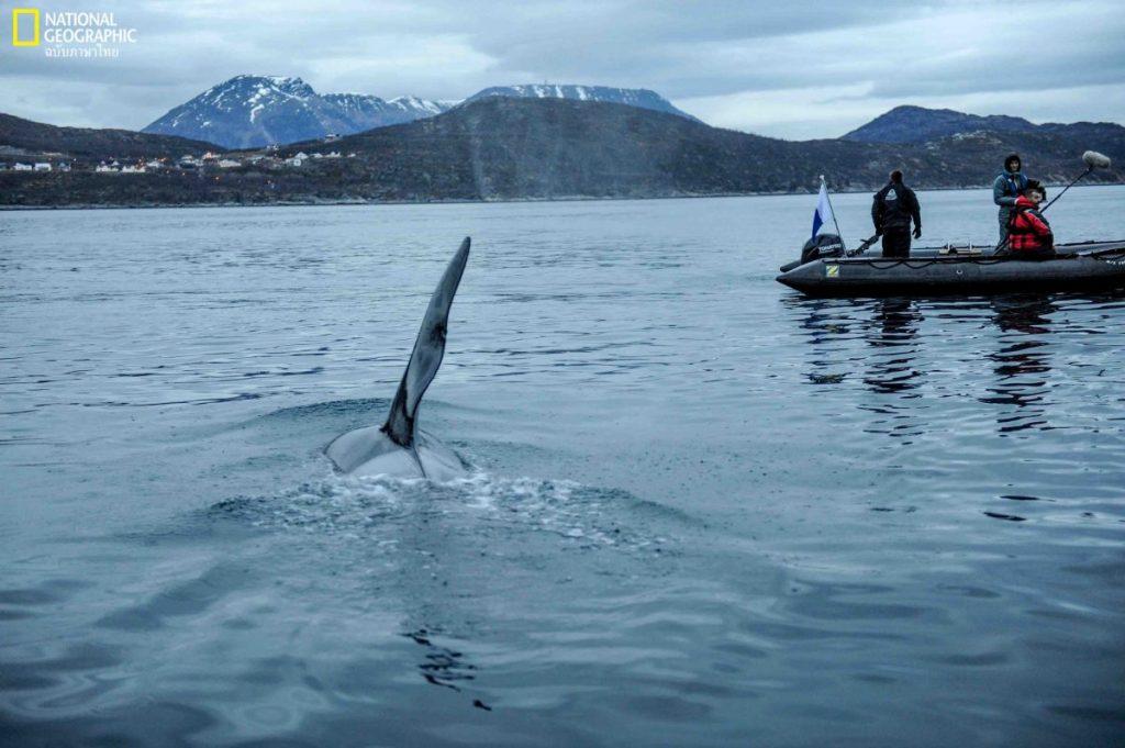วาฬ, วาฬออร์กา