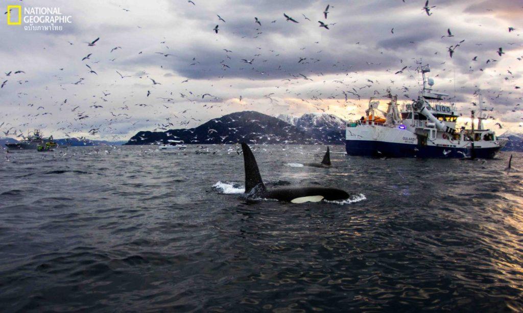 เรือประมง, วาฬเพชฌฆาต, ล่องเรือดูวาฬ