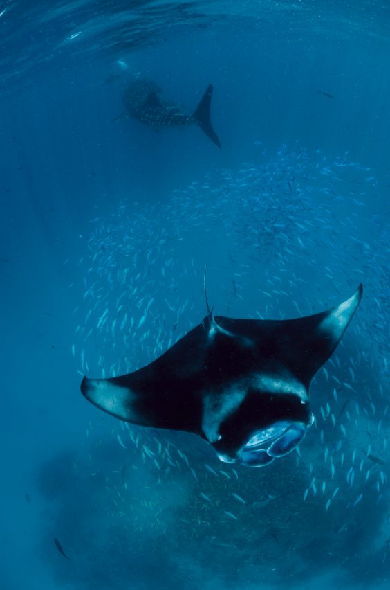 กระเบนราหู, ฉลามวาฬ, พฤติกรรมการหาอาหาร, ทะเลมัลดีฟส์, มัลดีฟส์