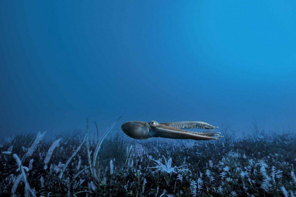 หมึกยักษ์, แอนาตาร์กติกา, โลกใต้น้ำแข็ง