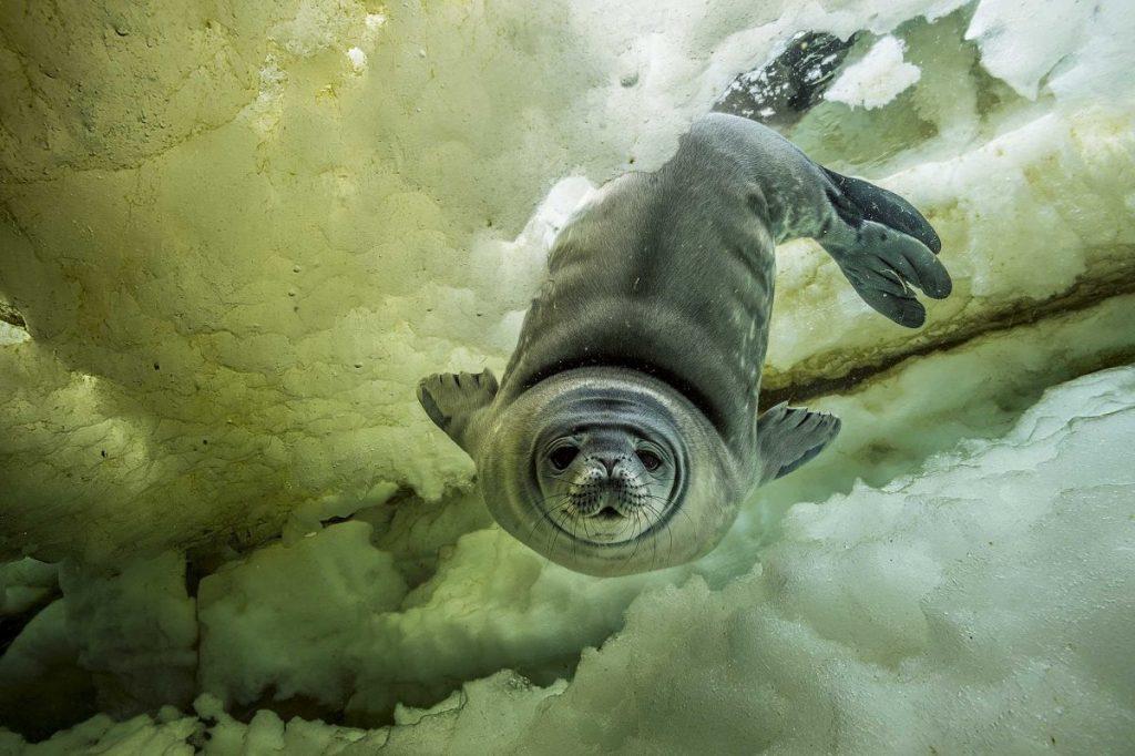 แมวน้ำ, โลกใต้น้ำแข็ง, แอนตาร์กติกา