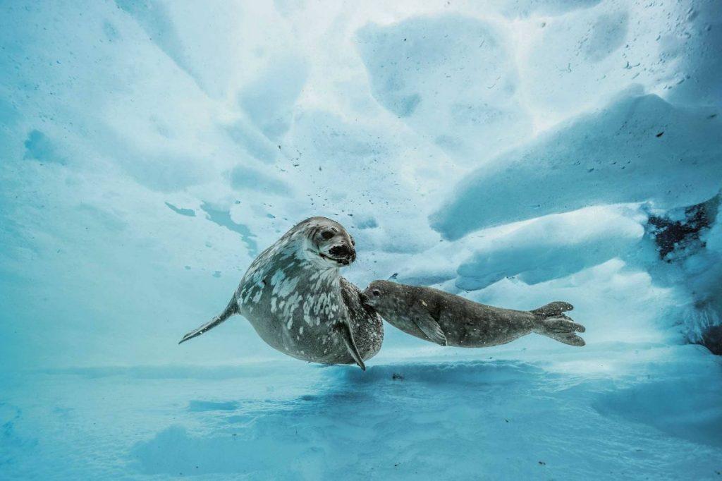 แมวน้ำเวดเดลล์, แมวน้ำ, อุ๋งอุ๋ง, ใต้โลกน้ำแข็ง