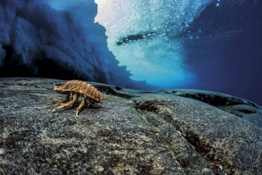 ไอโซพอด, ชีวิตใต้ทะเล, ใต้โลกน้ำแข็ง