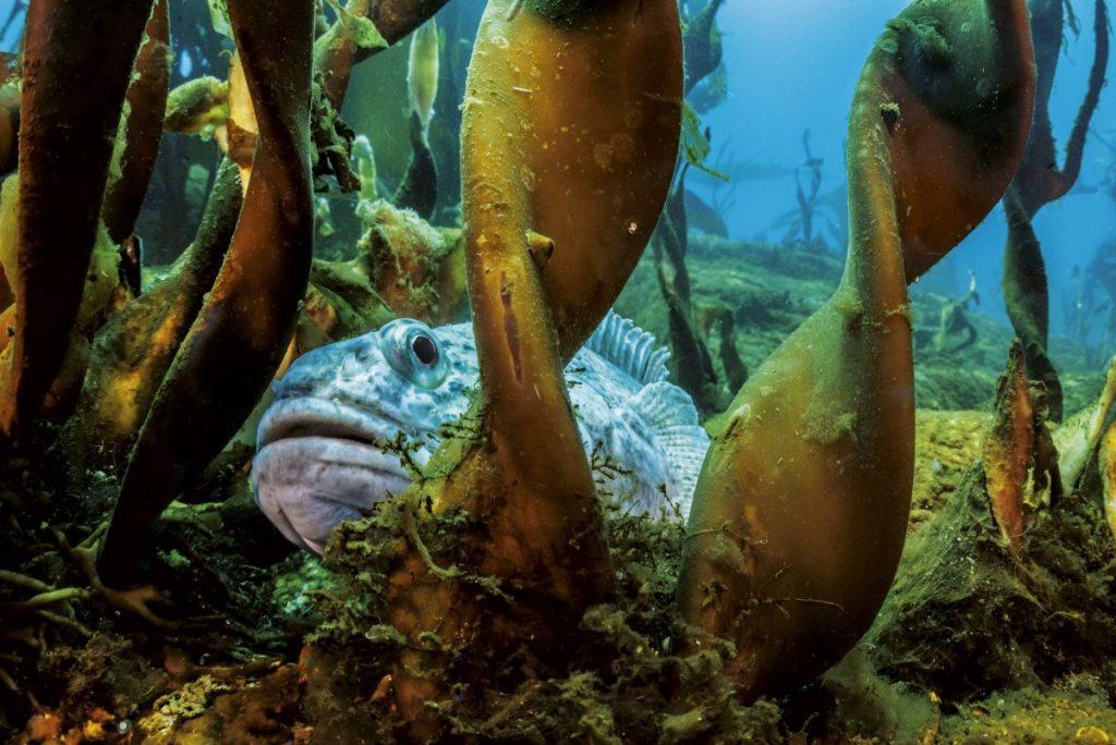 ปลาน้ำแข็ง, สัตว์ทะเล, สาหร่ายทะเล