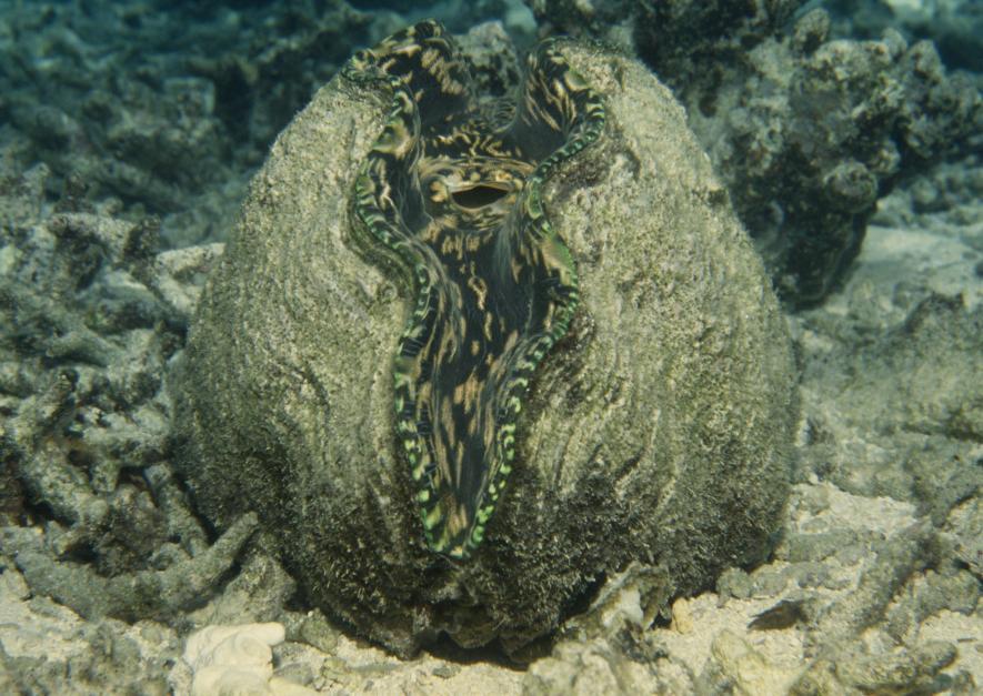 หอยมือเสือ, หอยสองฝา,