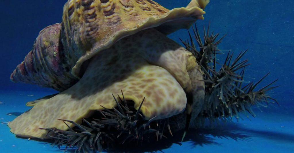 หอยสังข์แตร, ดาวหนามมงกุฎ