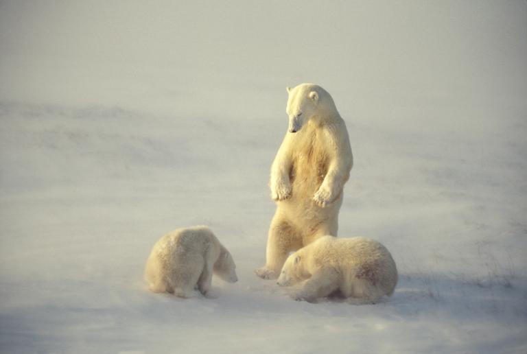 กรีนแลนด์, หมีขั้วโลก