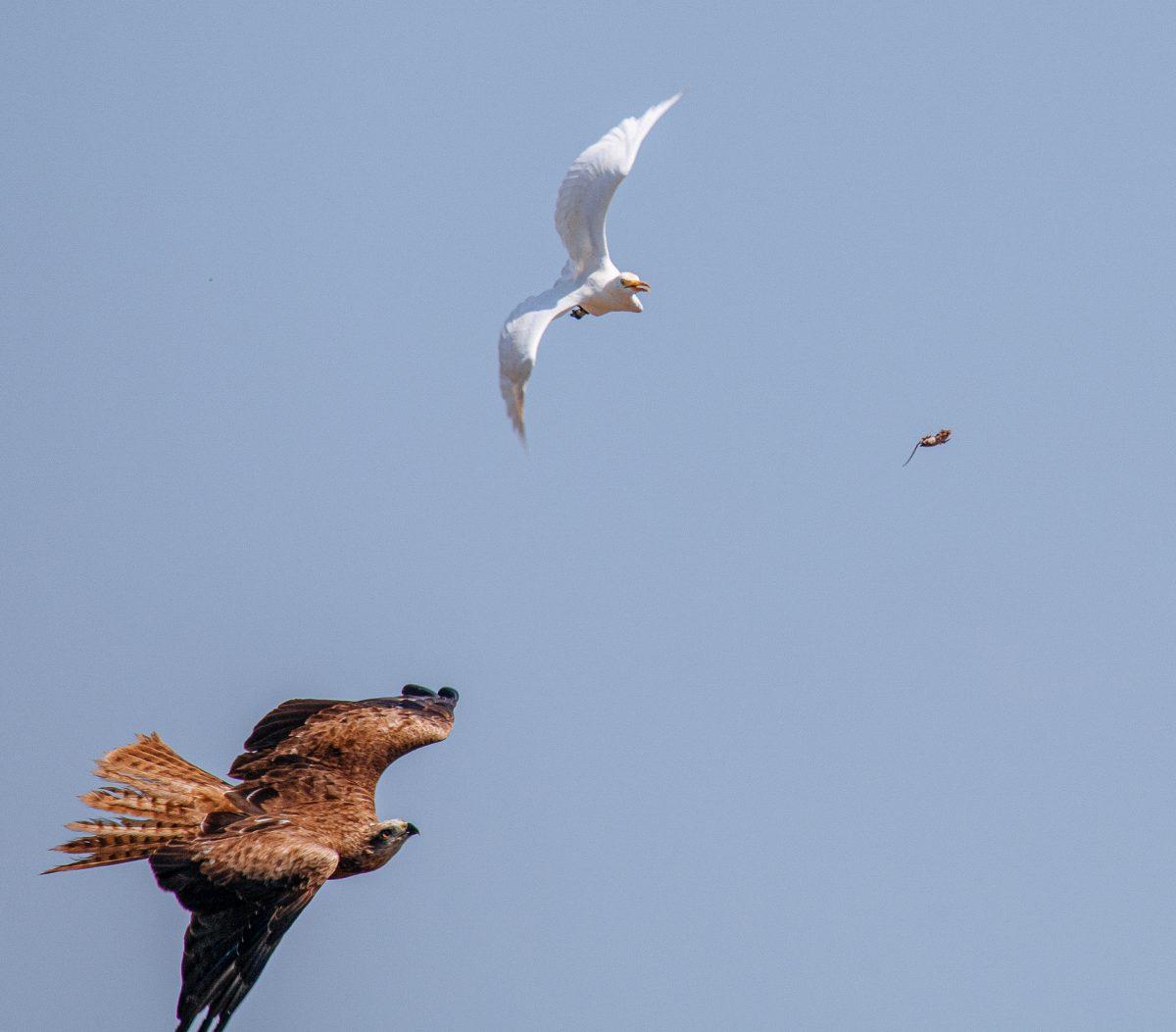 เหยี่ยว, ดูนก, นกอพยพ