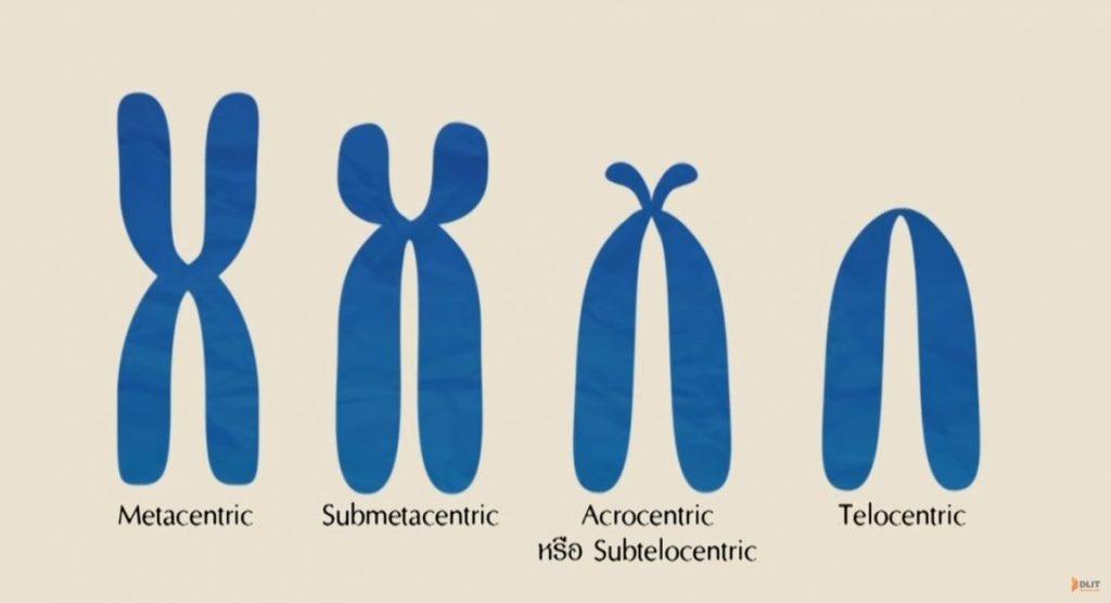 รูปร่างของโครโมโซม, โครงสร้างโครโมโซม