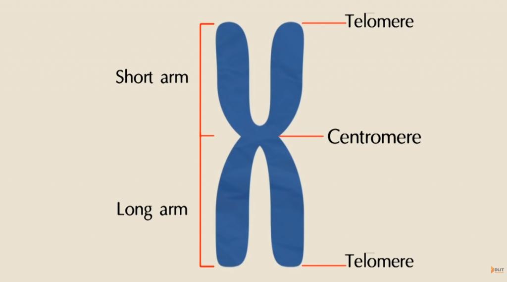 โครงสร้างโครโมโซม