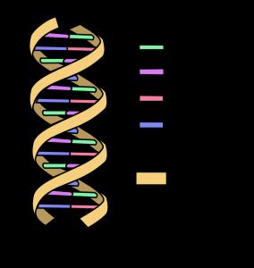 ยีน, ลำดับเบส, โครงส้รางโครโมโซม
