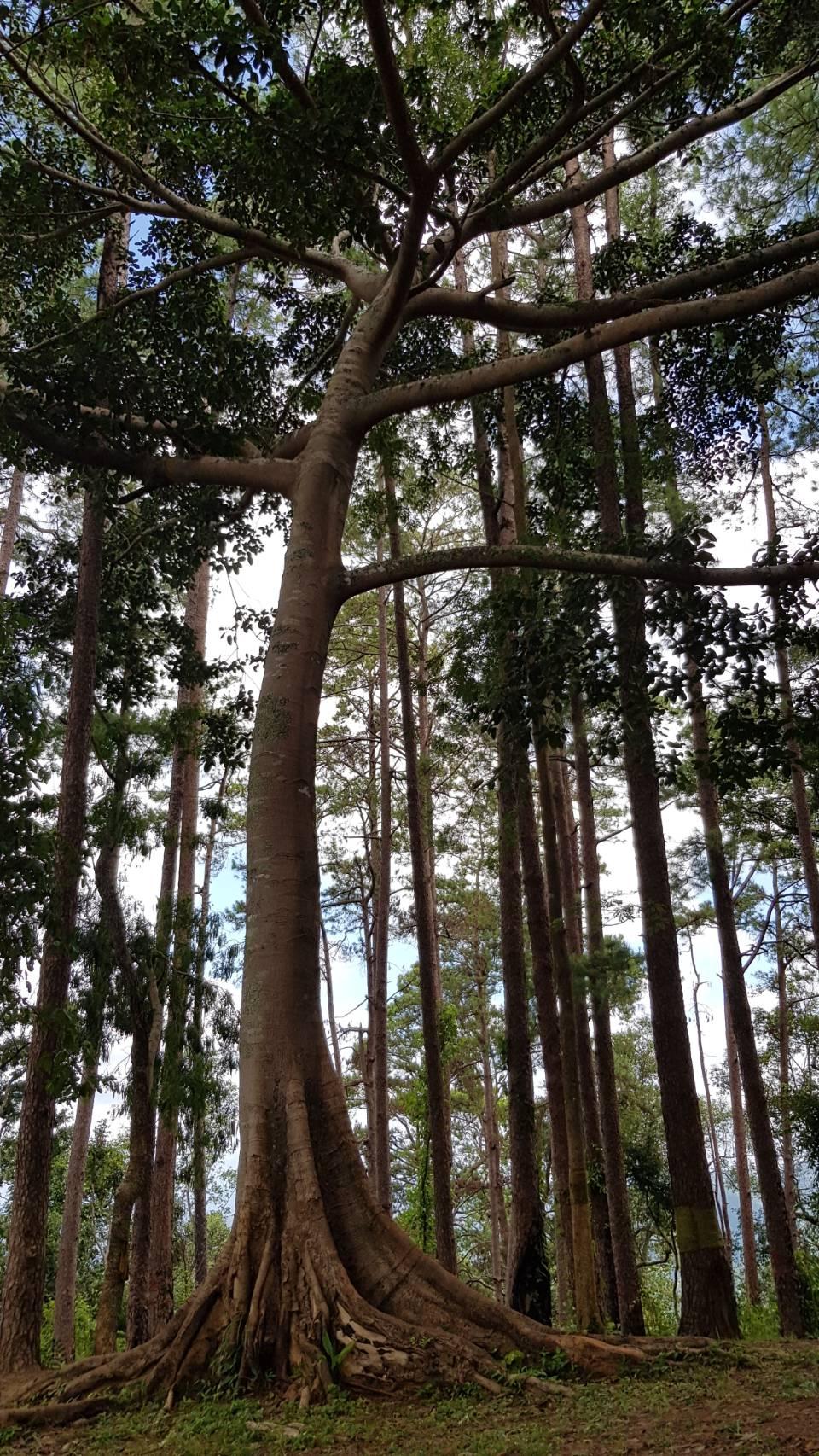 ดอยขุนตาล, อุทยานแห่งชาติดอยขุนตาล, ต้นฮุง