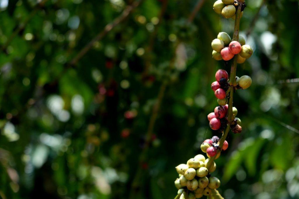 ผลกาแฟ, เมล็ดกาแฟ, กาแฟโรบัสตา