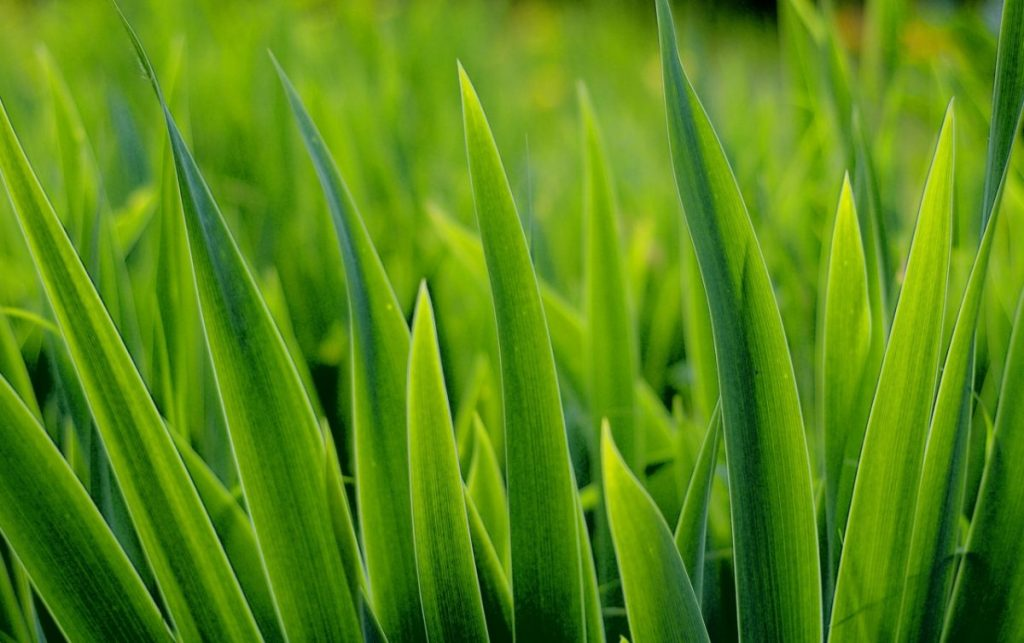 พืชใบเลี้ยงเดี่ยว, ใบของพืชใบเลี้ยงเดี่ยว, ใบไม้, ใบหญ้า