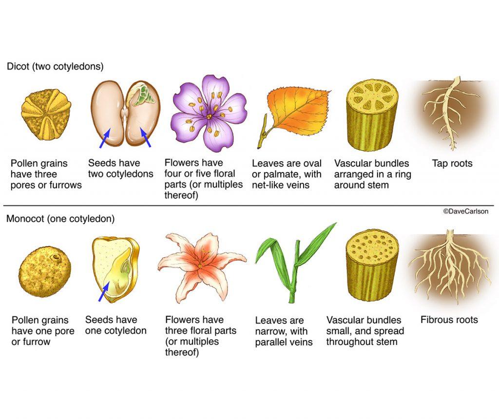 พืชใบเลี้ยงคู่, พืชใบเลี้ยงเดี่ยว, ใบเลี้ยง, การจัดจำแนกพืช
