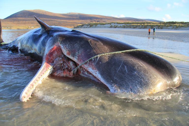 ขยะพลาสติก, วาฬเกยตื้น, วาฬ