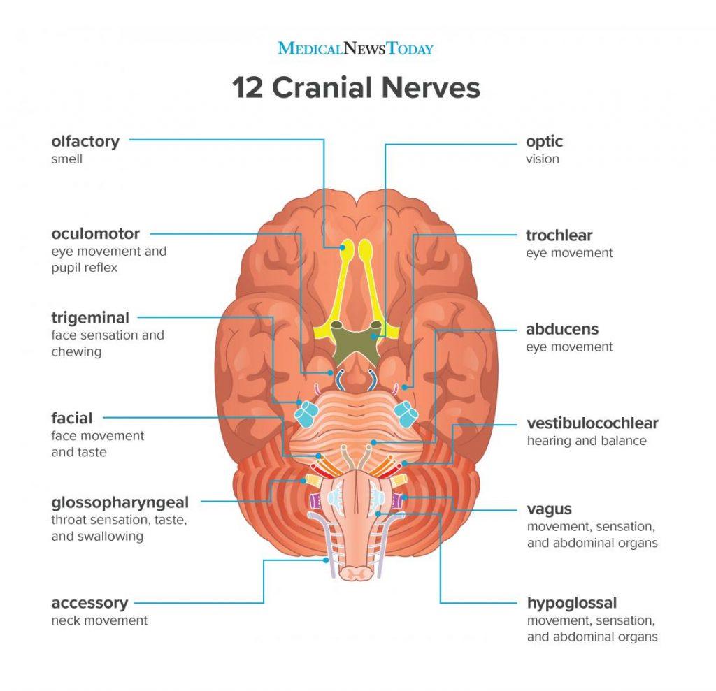 เส้นประสาทสมอง, ระบบประสาท, ระบบประสาทส่วนปลาย