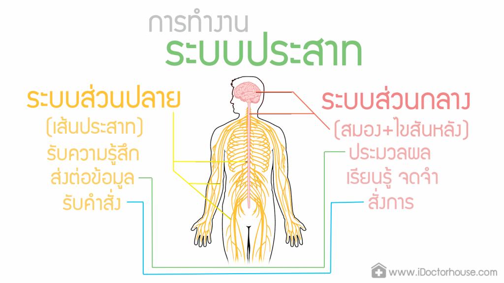 ระบบประสาทส่วนปลาย, ระบบประสาท