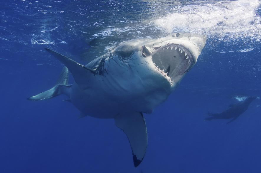 ฉลาม, ปลาฉลาม