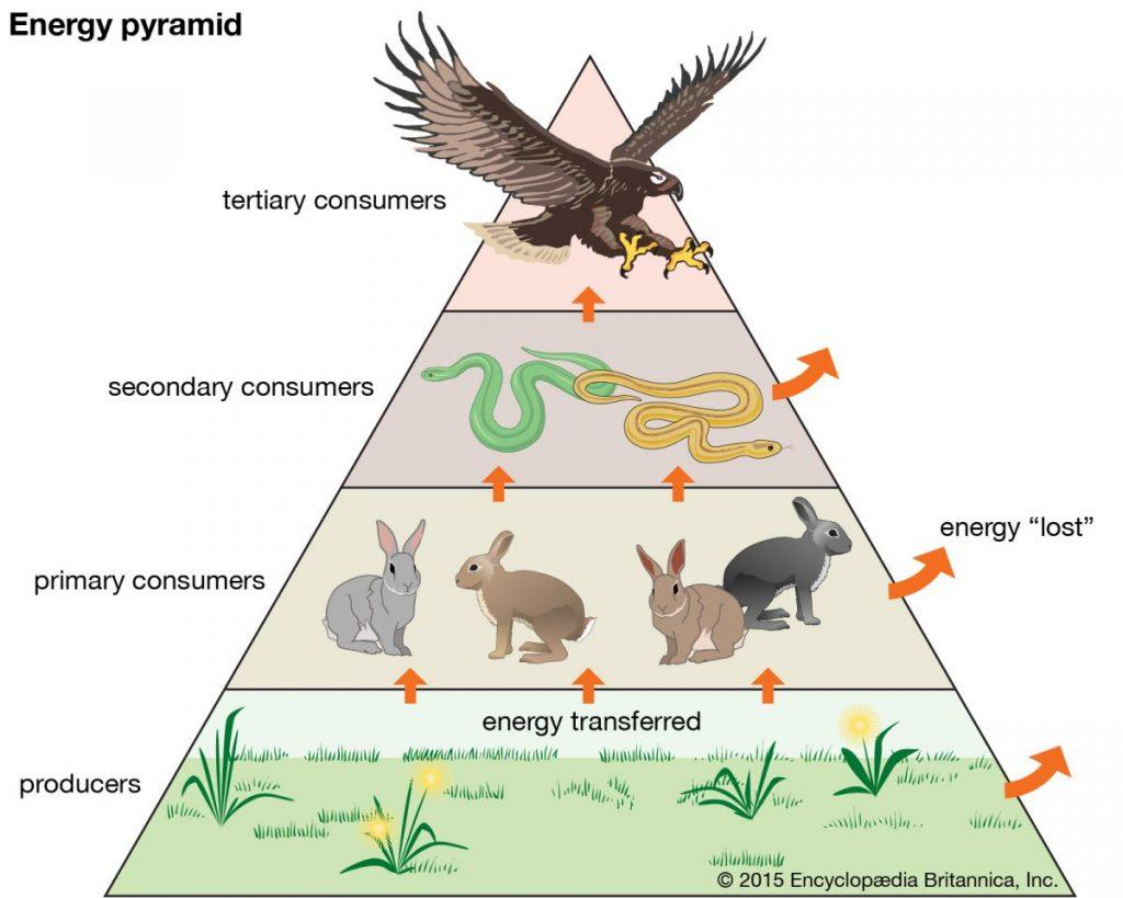 การถ่ายทอดพลังงานในระบบนิเวศ, ผู้ผลิต, ผู้บริโภค