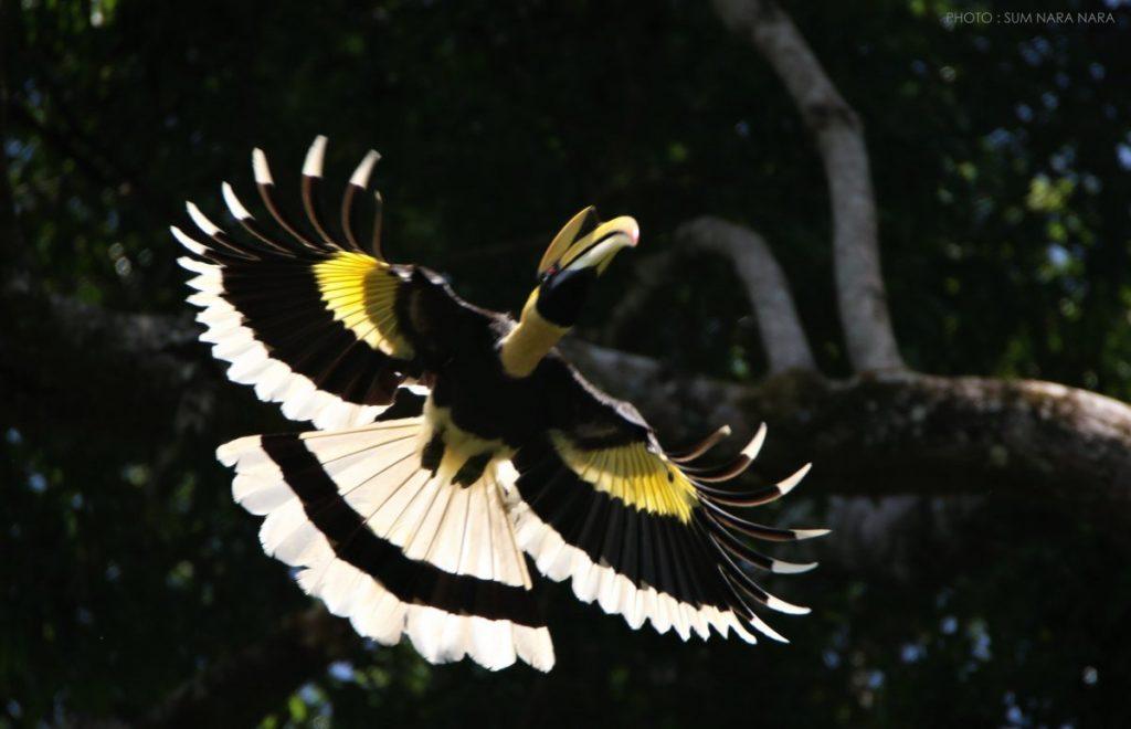 นกกก, นกเงือก, ฮาลา-บาลา