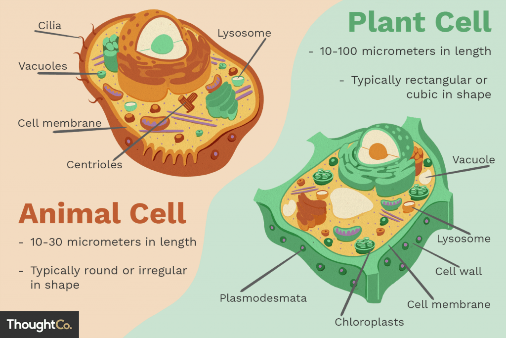 การแบ่งเซลล์, เซลล์พืช, เซลล์สัตว์