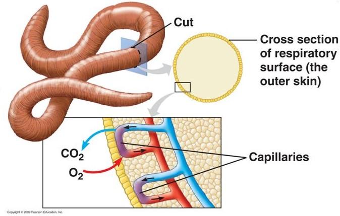 แลกเปลี่ยนก๊าซที่ผิวหนัง, การแลกเปลี่ยนก๊าซ, การหายใจ, แลกเปลี่ยนก๊าซ