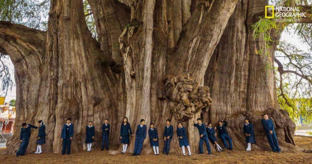 """ผลการค้นหารูปภาพสำหรับ """"แตกตื่น"""" ต้นโพธิ์โบราณ 30 คนโอบให้โชค"""