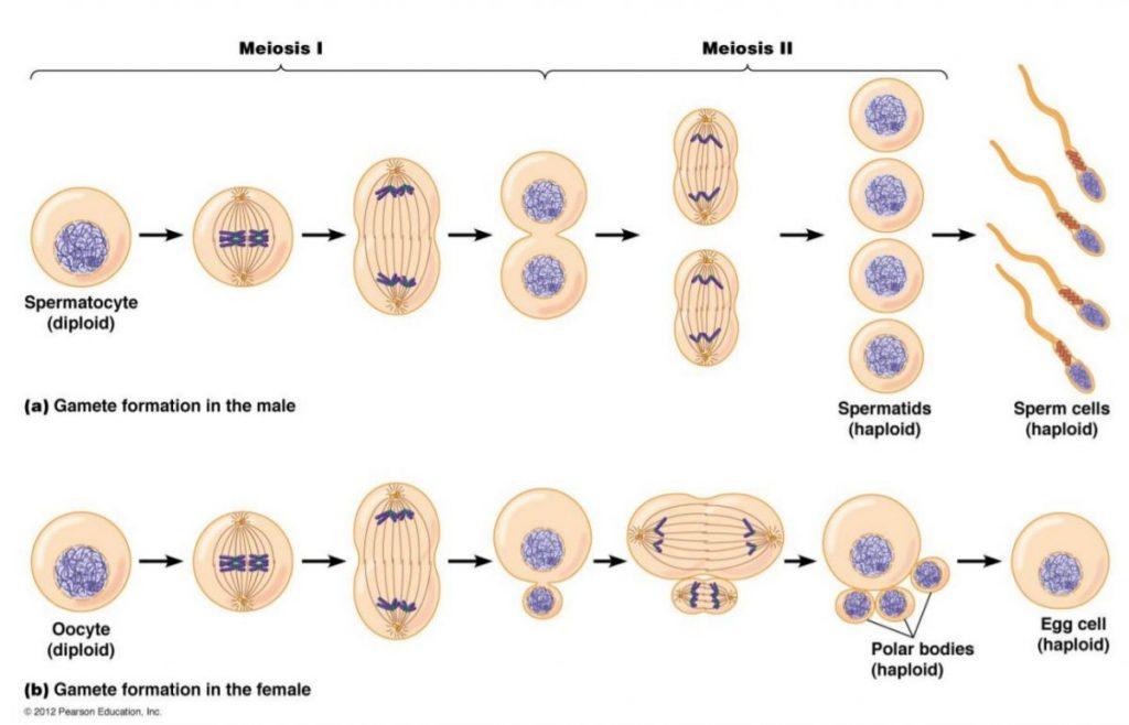 ไมโอซิส, การแบ่งเซลล์, เซลล์สืบพันธุ์