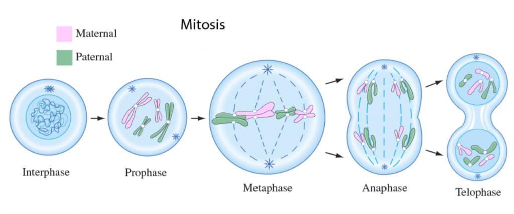 การแบ่งเซลล์, การแบ่งเซลล์แบบไมโทซิส, ไมโทซิส