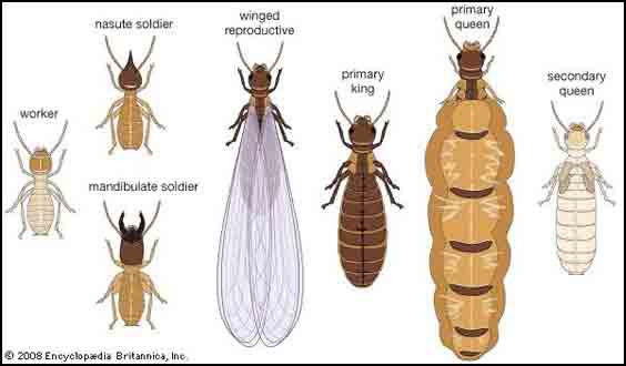 แมลงเม่า, ปลวก, วรรณะปลวก