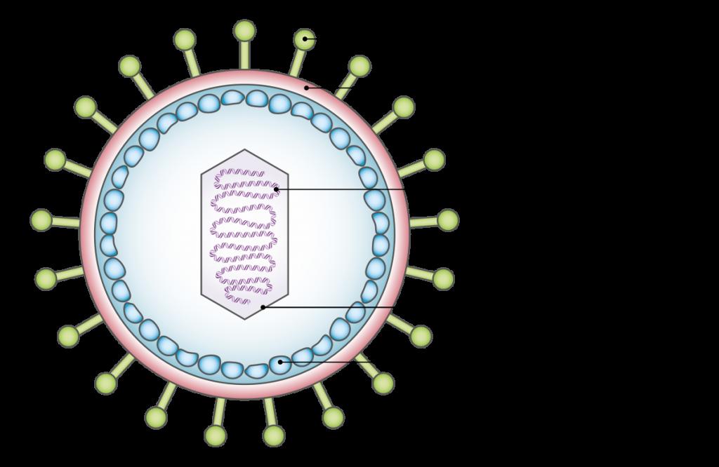 เชื้อก่อโรค, ไวรัส, เชื้อไวรัส, เชื้อโรค, แบคทีเรีย, เชื้อรา,
