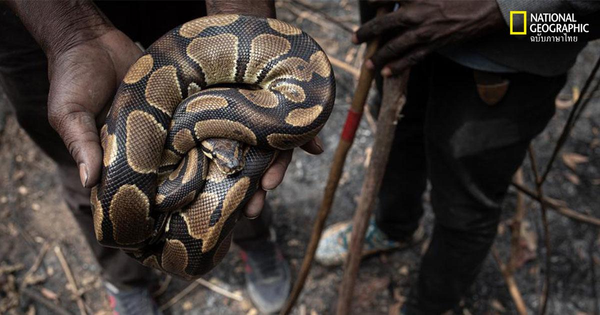 งูหลามบอล, การค้าสัตว์ป่า, การอนุรักษ์, สัตว์เลื้อยคลาน, สัคว์ป่า