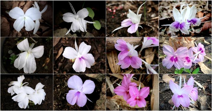 พืชชนิดใหม่, ดอกดิน, ดอกดินอรุณรุ่ง, ดอกเปราะผาสุก
