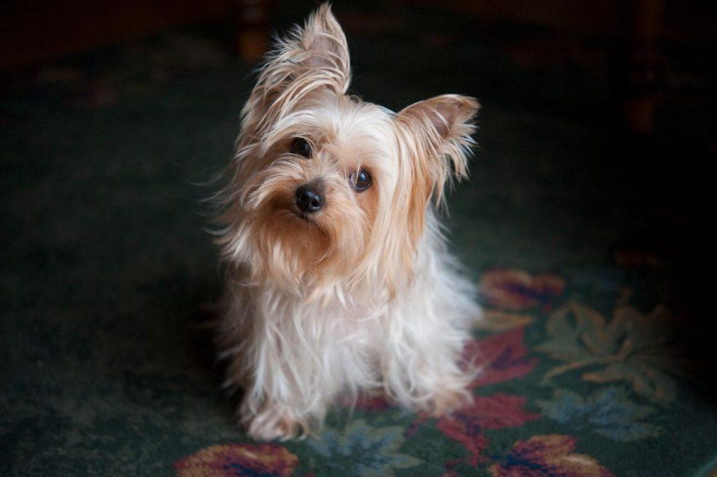 สุนัข, หมาน่านัก, ยอร์กเชียร์เทอร์เรีย, หมาติดโควิด-19, หมาติดเชื้อโควิด-19 ได้ไหม, สัตว์เลี้ยง, การดูแลสัตว์เลี้ยง
