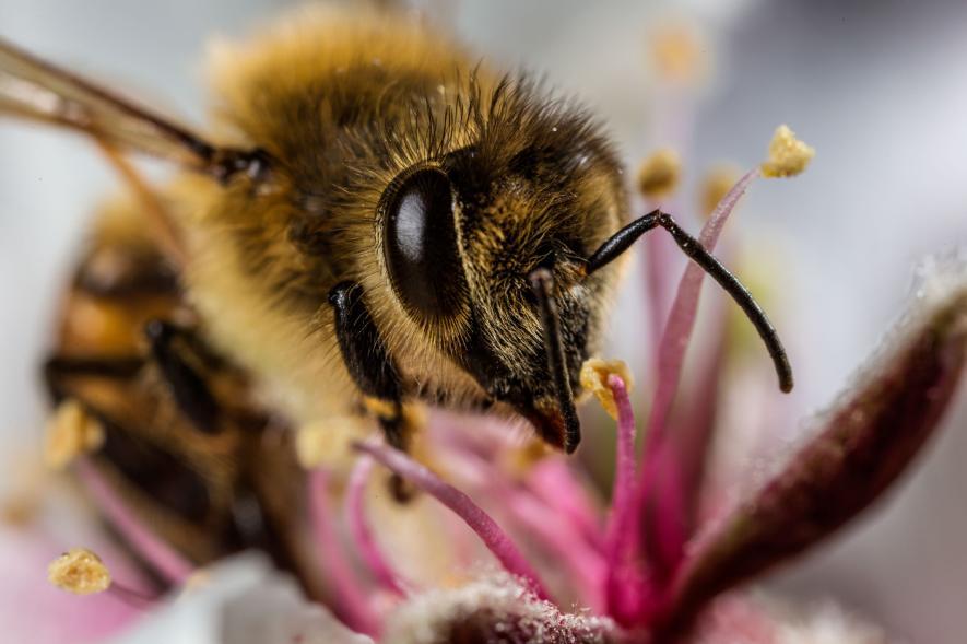 การรักษาระยะห่างทางสังคม, ผึ้ง, พฤติกรรมสัตว์